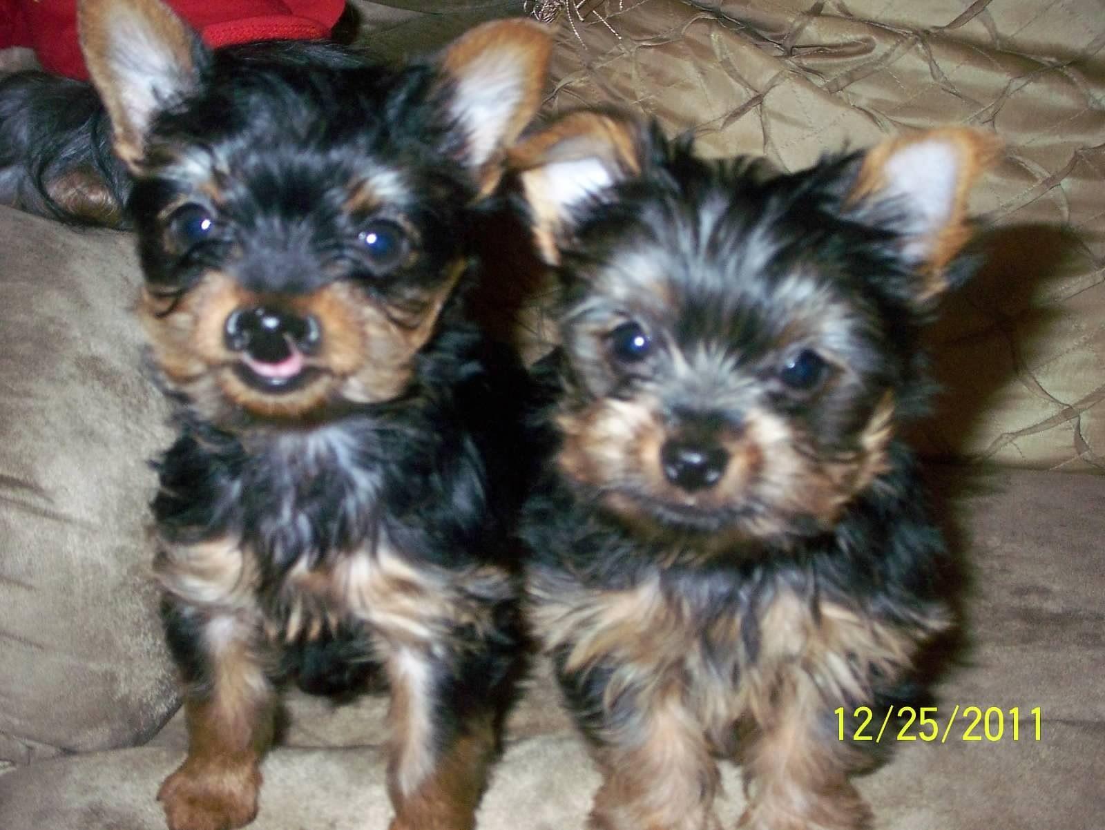 Sassy Zach Yorkie Dogs Animals