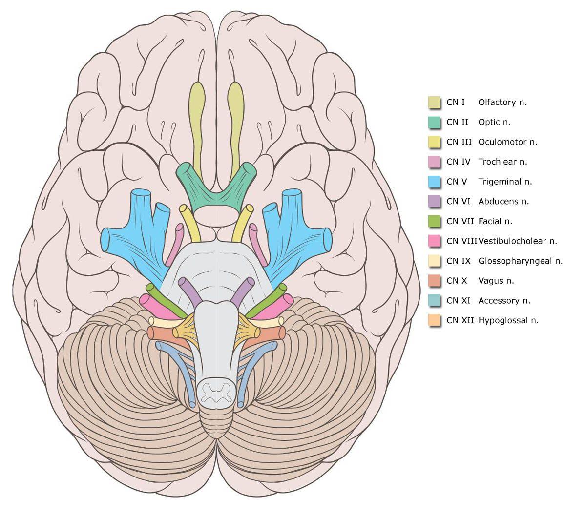Cranial Nerves Google Search Cranial Nerves Brain Anatomy Medical Anatomy [ 1063 x 1200 Pixel ]