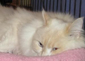 Belle is an adoptable Ragdoll Cat in Albany, NY.   Happy Cat Rescue, Inc. is looking for a special home for this stunning kitty named Belle .  She is a beautiful, sweet female who truly is a girly gir...