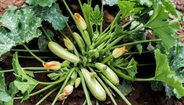 Zucchini Pflanzen Ist Ganz Einfach Wie Und Wann Man Zucchini Im Garten Und Im T In 2020 Zucchini Pflanzen Pflanzen Garten