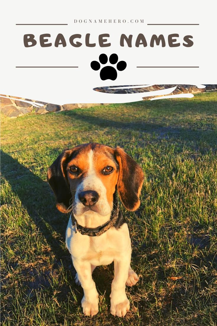 Beagle Names 100 Names For Beagle Puppy Dog Name Hero In 2020 Beagle Names Dog Names Beagle Puppy