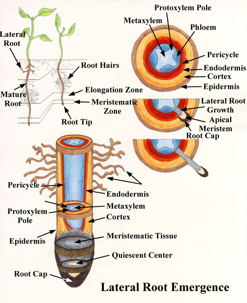 Fascinated By Roots Biology Plants Plant Science Root Diagram