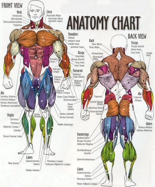 muscle map | training/exercise | pinterest | photos, charts and do you, Muscles