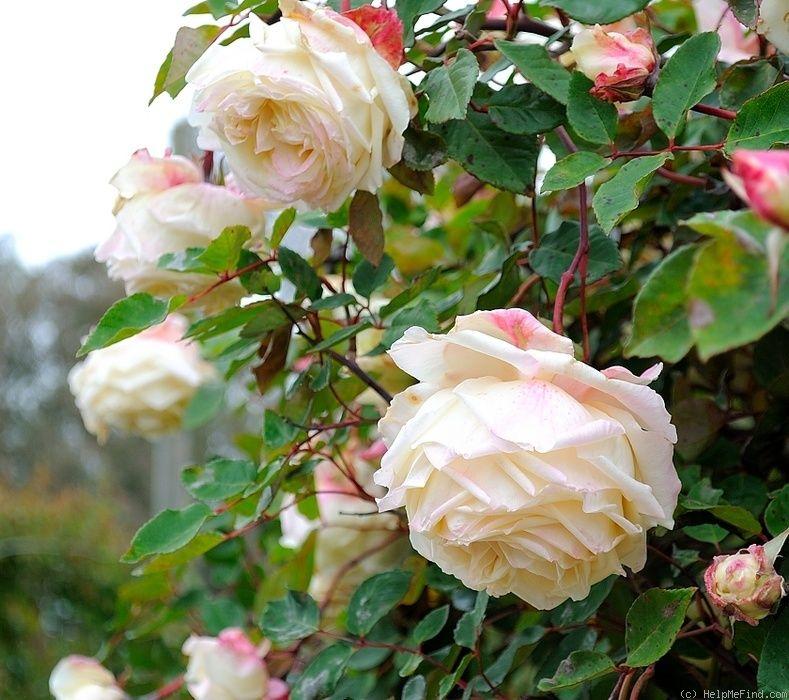 удивительно фото чайная роза в саду решился взять