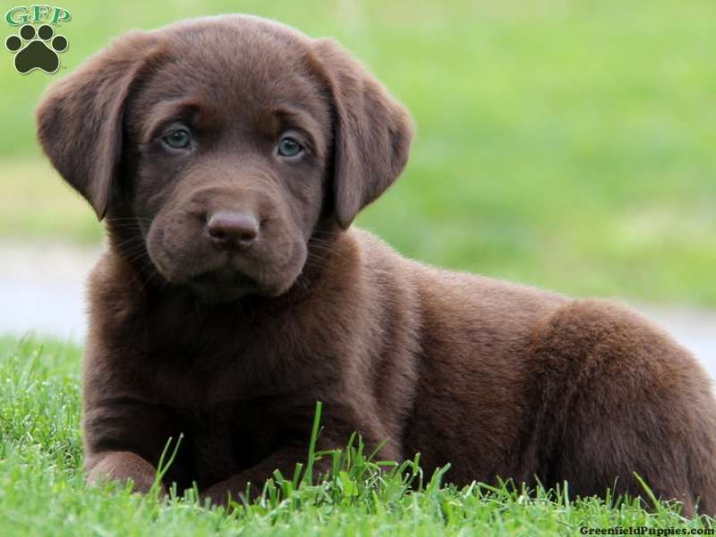 Hobbs, Chocolate Lab puppy for sale from Gap, PA - Greenfield Puppies