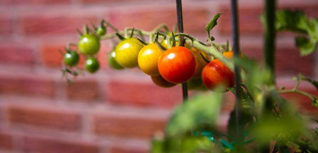 Tomaten Pflanzen: Reiche Ernte Aus Dem Eigenen Garten | Garten Gemusegarten Anlegen Tipps Tricks Ernte