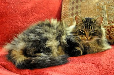 What is the Oldest Domestic Cat Breed? | 8 Ancient Cat Breeds