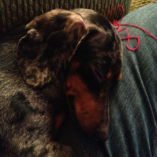 Let Sleeping Dogs Lie Dachshund Charlene Trieloff Sleeping