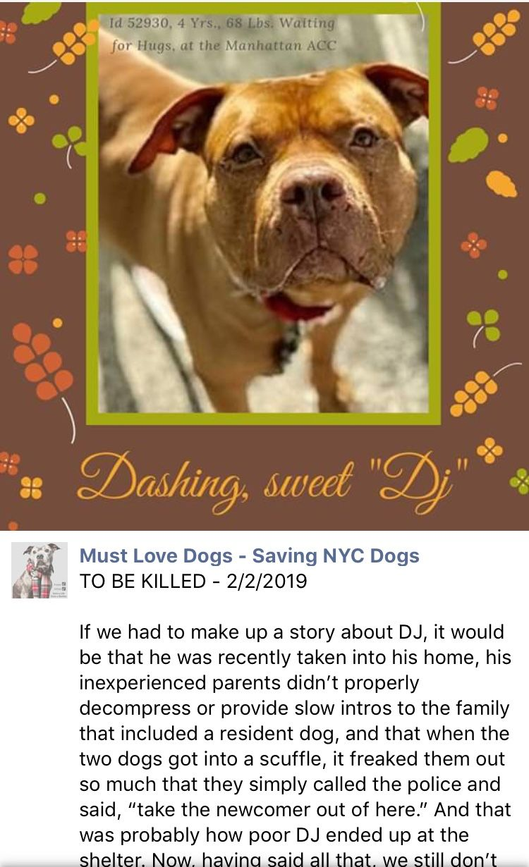 Dj Relisted To Die At Nyc Acc 2 5 19 Nyc Acc Want To Kill Precious Innocent Dj 2 2 19 Ij2 Nyc Dogs Dogs Saving Lives