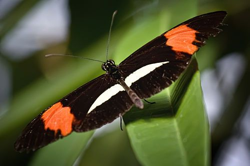 The Postman Butterfly, Common Postman, or simply Postman (Heliconius melpomene) is one of the heliconiine butterflies found from Mexico to northern South America. Several species in the genus have very similar markings and are difficult to distinguish.This is an example of mimicry. (Photo: (c) Steven Pavlov, some rights reserved (CC BY-SA))