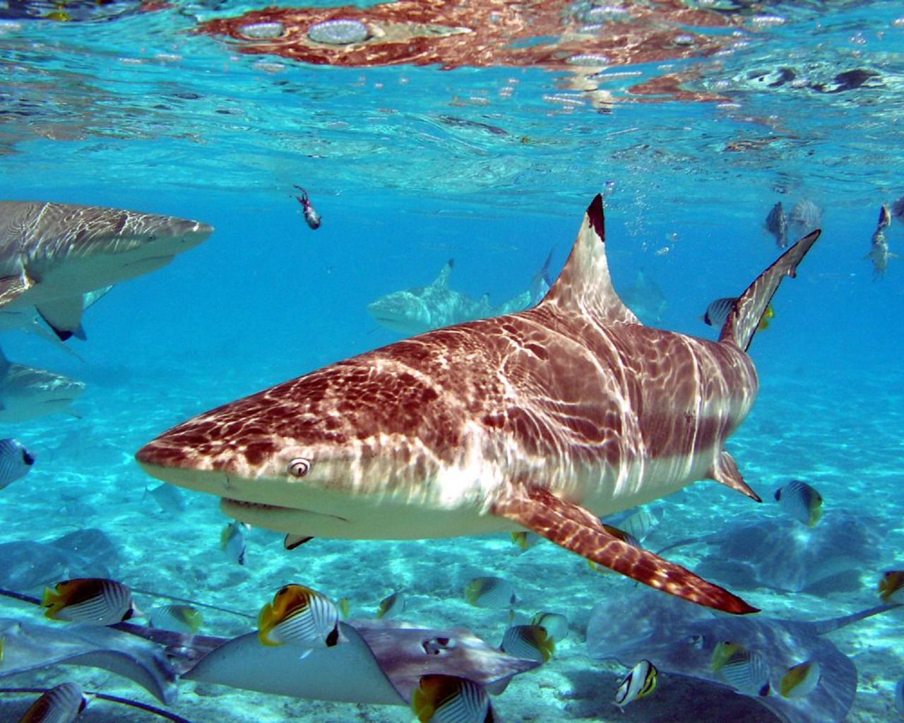 Beautiful Sand Tiger Shark Wallpaper Shark Pictures Tropical Fish Pictures Grey Reef Shark