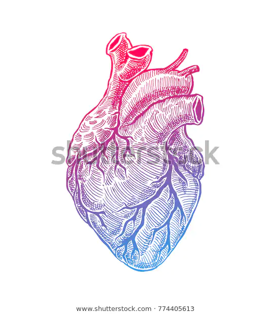 Realistic Human Heart Vintage Style Hand Drawn Illustration Heart Art Print Human Heart Heart Art