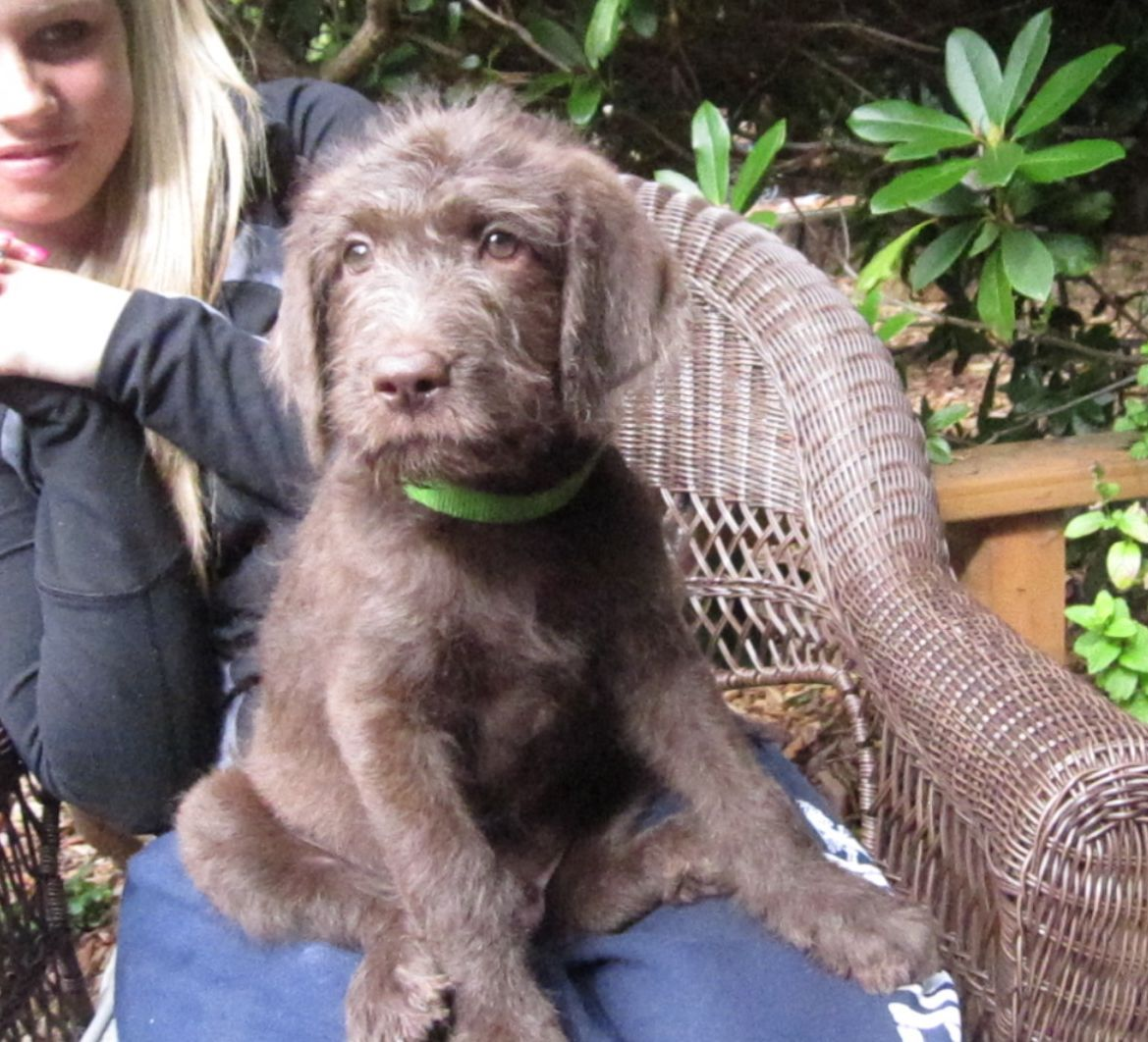F1 labradoodle looking for a home silver beige coat