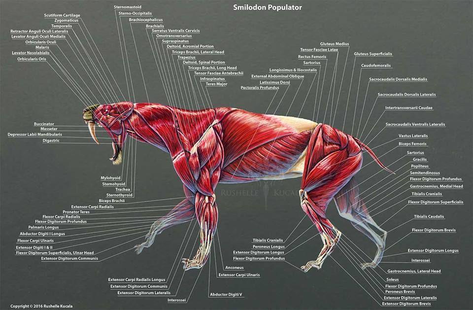 Reconstrucción del sistema muscular de Smilodon populator a cargo de ...