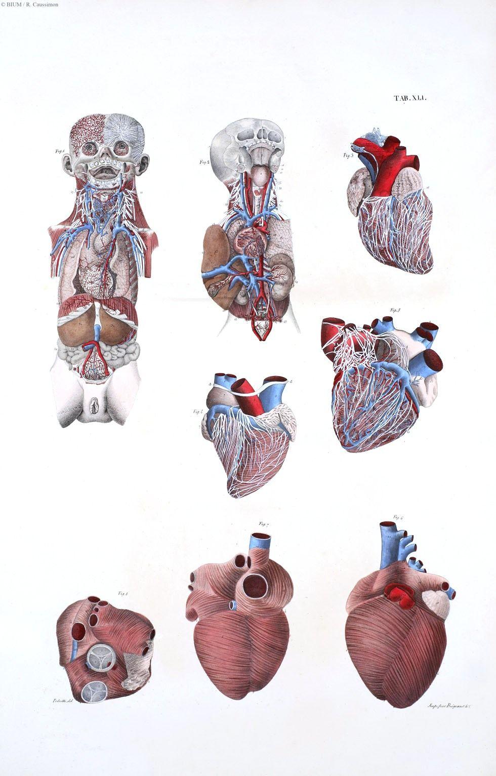 Heart anatomical illustration | Vintage Printable - Valentines ...