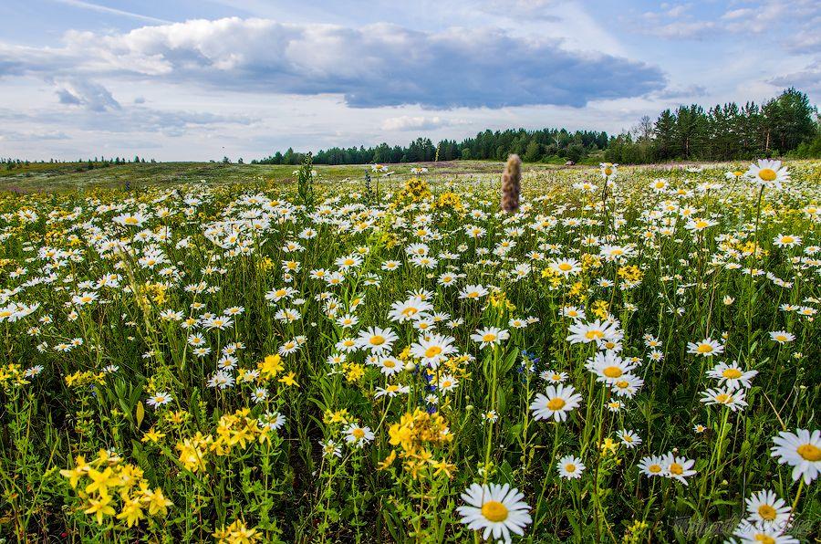 узнать, ромашковые поля в ленинградской области с фото высоты