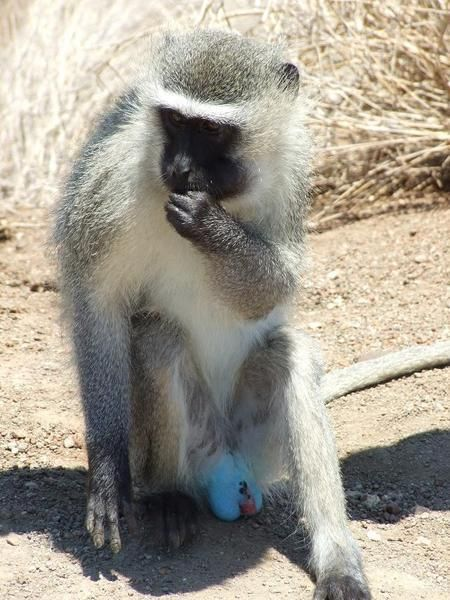 The Vervet Monkey Is A Predominately Savannah Woodland Species