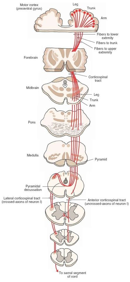 Corticospinal Tract -control voluntary movement,,,#Superior cerebral ...