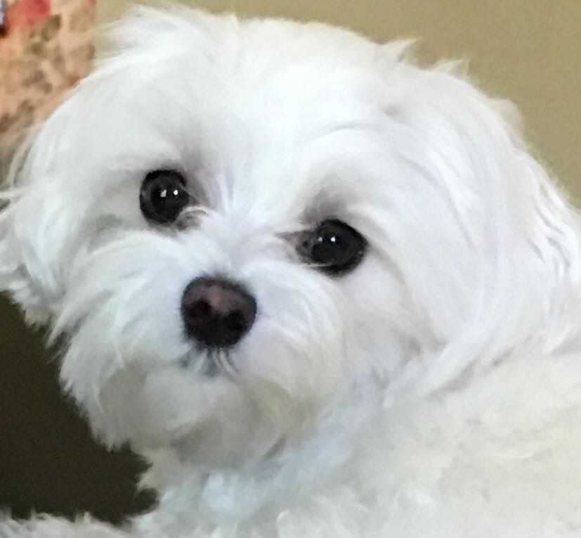Pin By Nadia Carre On Chiots Maltais Maltese Dogs Maltese Puppies