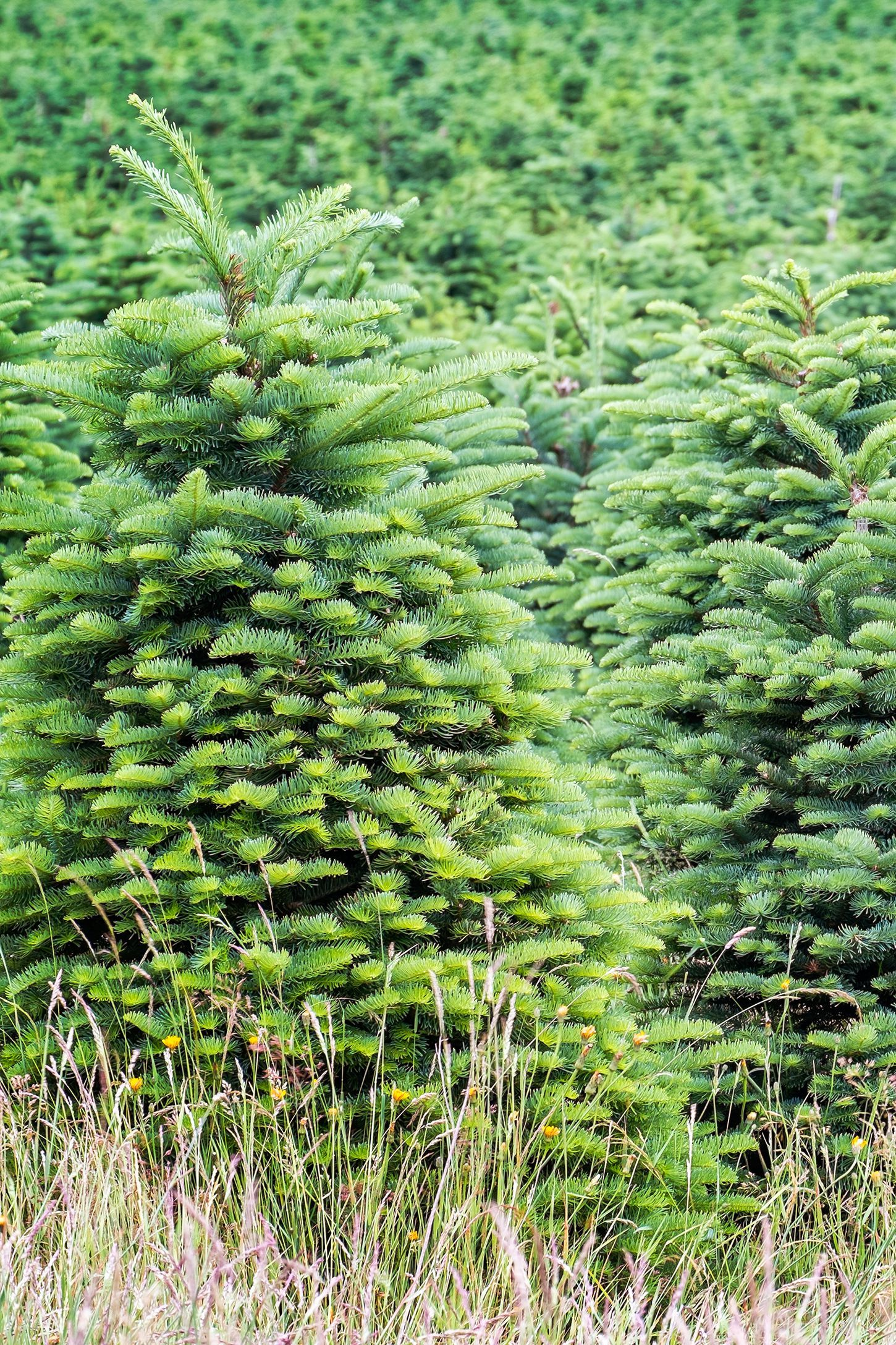 30 Best Christmas Tree Farms Near You for Your Annual Holiday Road Trip | Christmas tree farm ...