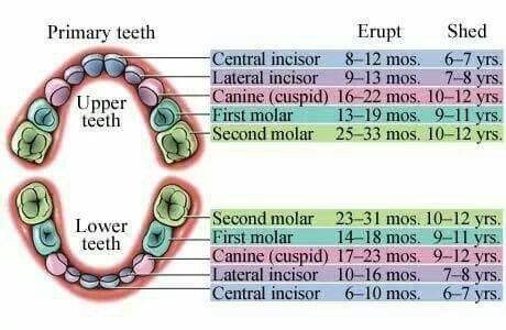 tooth growth chart