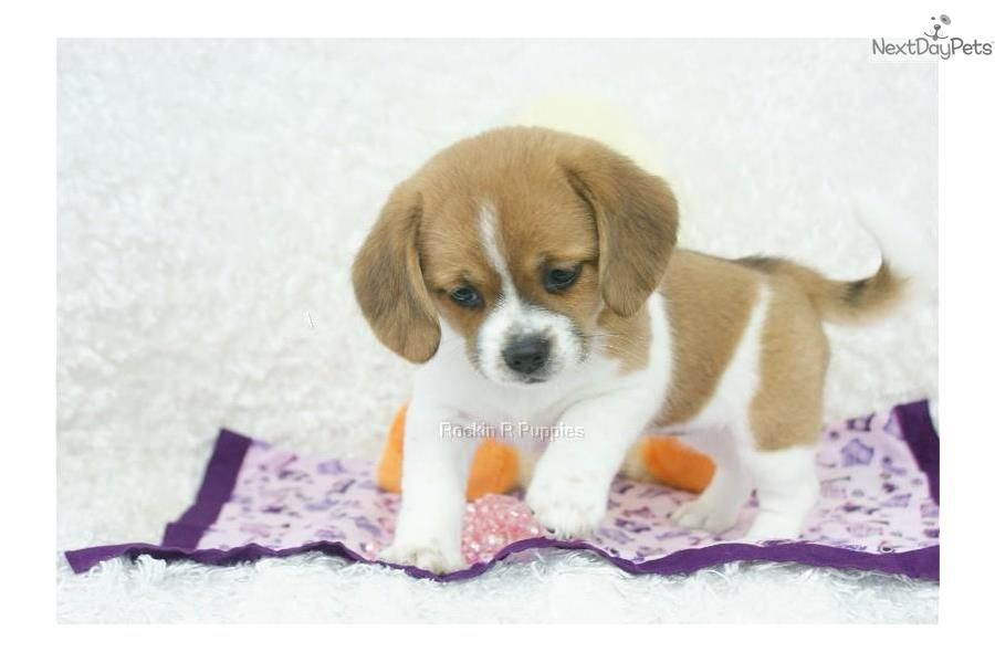 Meet Tabby A Cute Puggle Puppy For Sale For 900 Tabby Peagle