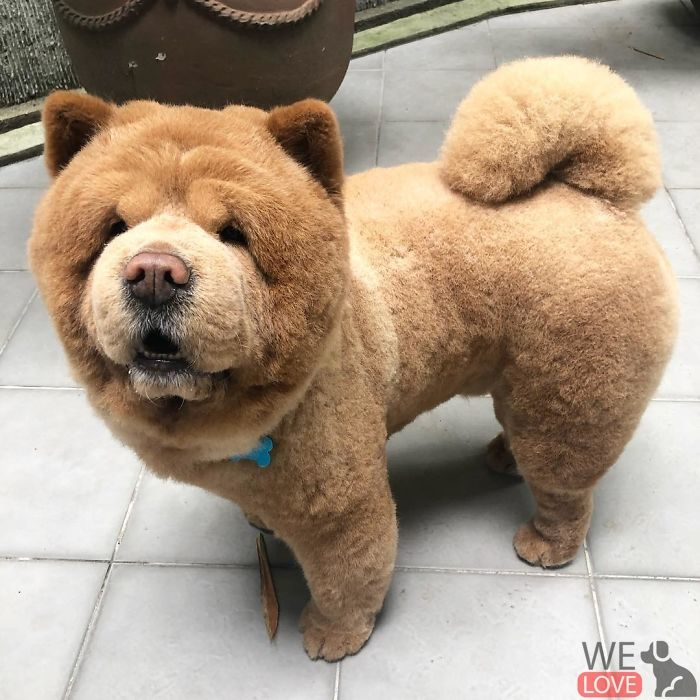 Meet Chowder Looks Like A Giant Teddy Bear In 2020 Giant Teddy