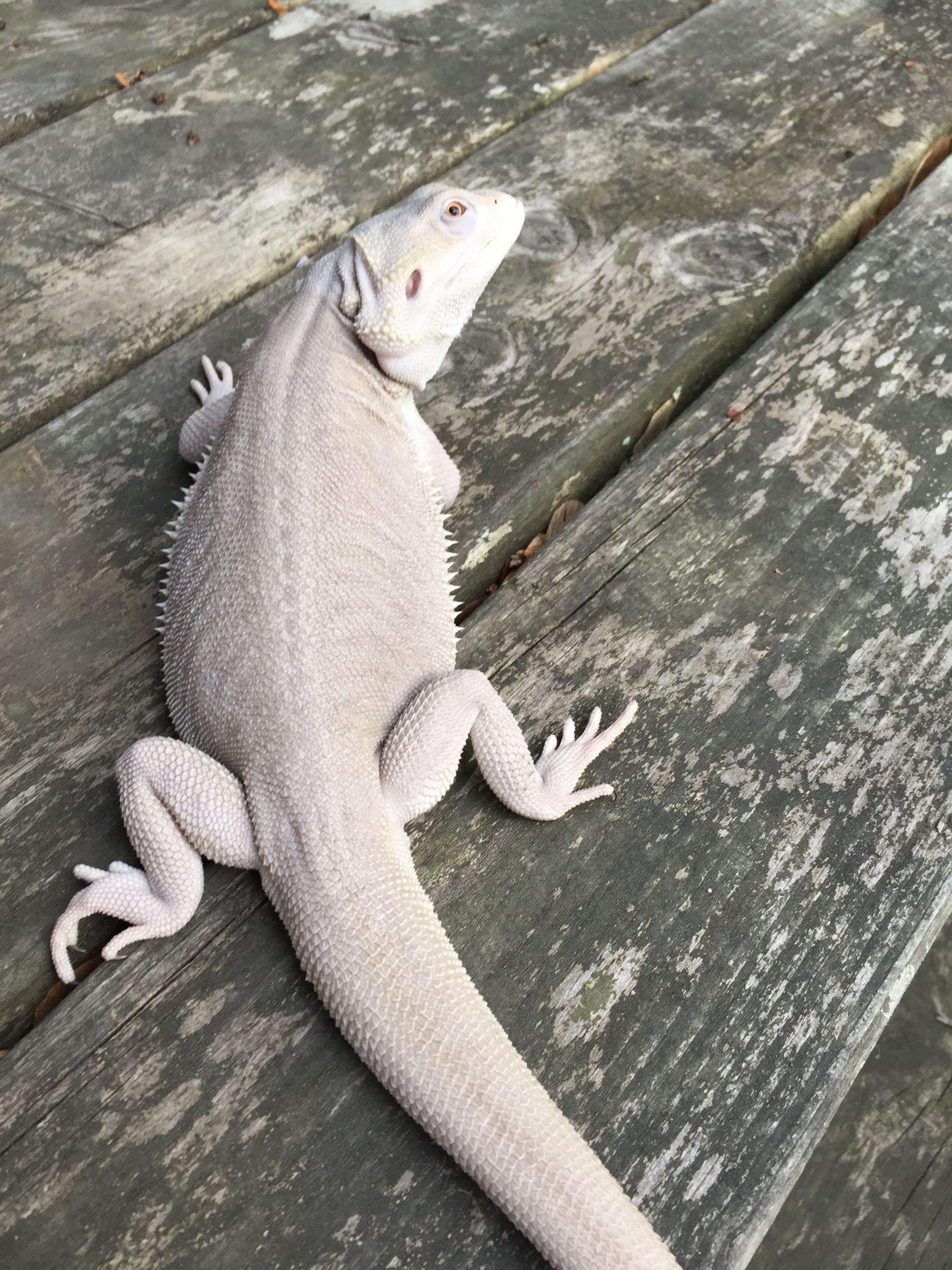 Komodo Dragon Videos Discovery Channel