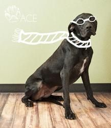 Adopt Ace On Pet Adoption Center Great Dane Dogs Dogs