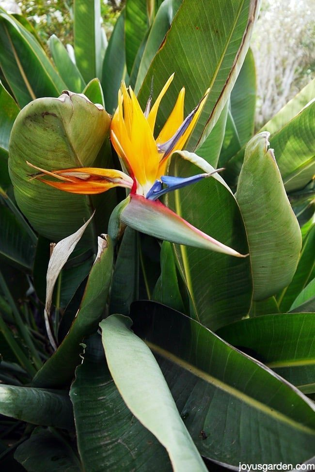 Bird Of Paradise Plant Care Paradise Plant Birds Of Paradise Plant Plant Care