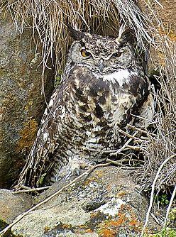 Mackinder's Eagle-Owl, now split from Cape Eagle Owl, Kenya.(Nik Borrow).