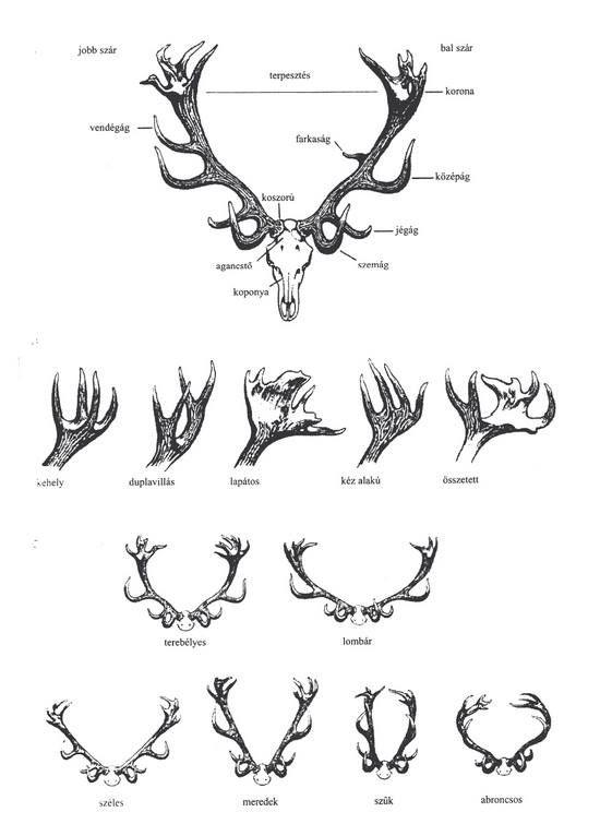 red deer antler | Random | Pinterest | Anatomía animal, Anatomía y ...
