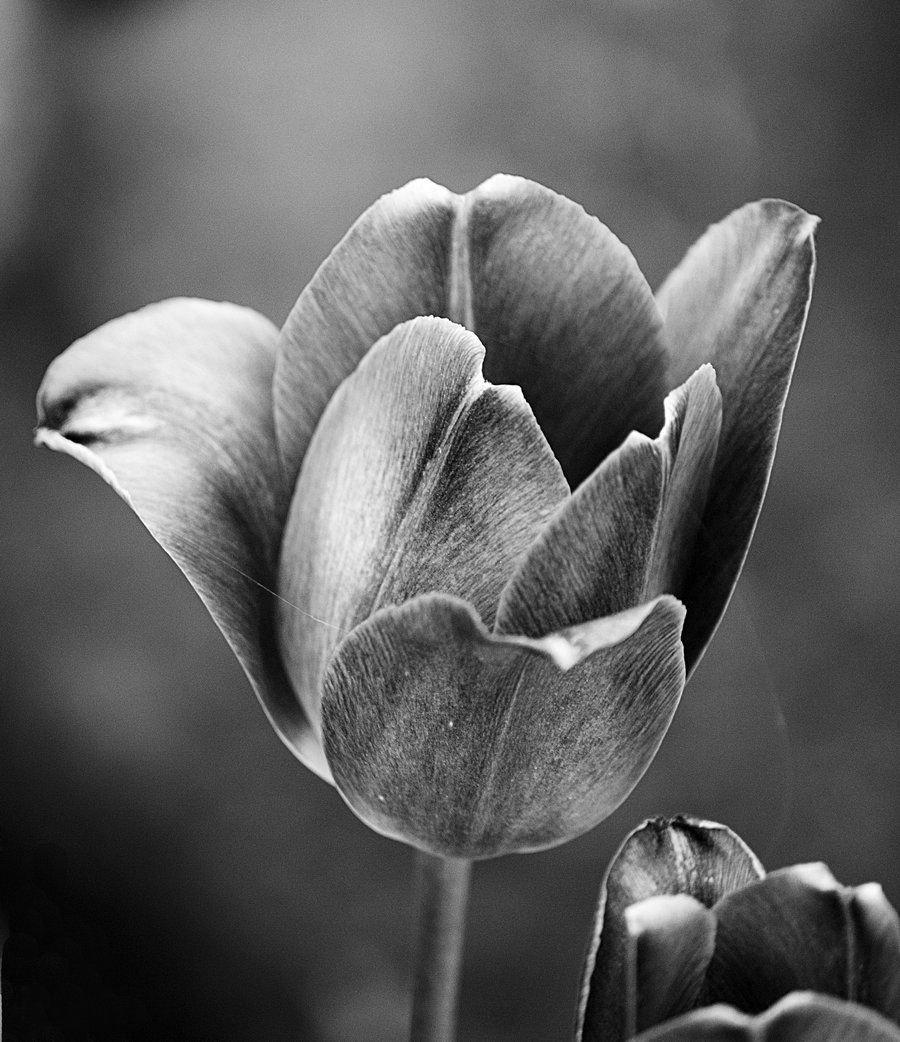Black and white tulip leaves flowers pinterest white tulips black and white tulip dhlflorist Image collections