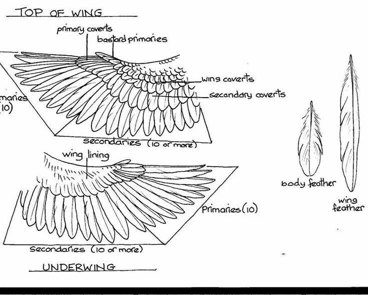 Folded Bird Wings Drawing