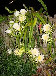 night cereus - Buscar con Google