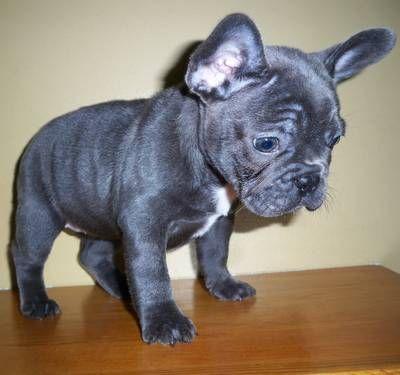9 Week Old Champion Grandsired Blue Brindle French Bulldog Girl I
