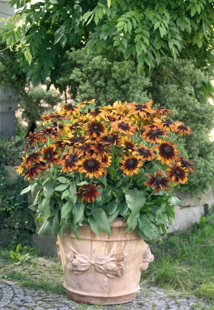 Rudbeckia Hirta Seeds - AUTUMN COLORS - Gloriosa Daisy - Perennial - 50 Seeds #theseedhouse