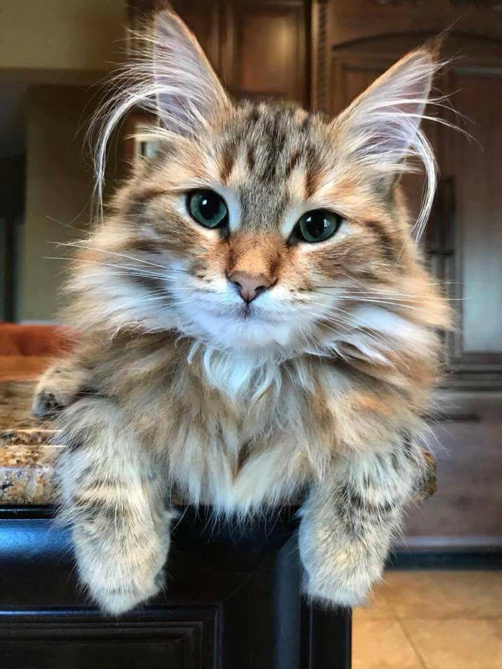 Giant Maine Coon Kittens For Sale Near Me