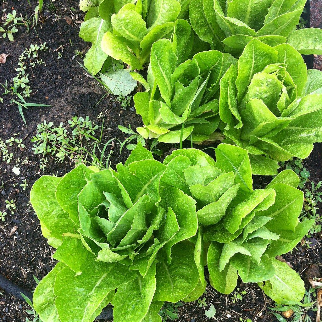 Cold Hardy Crops For The Fall Winter Vegetable Garden: Winter Vegetables: What Grows In Cold Weather?