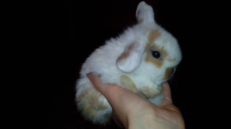 Very well handled baby rabbits Only 1 boy caramel spots