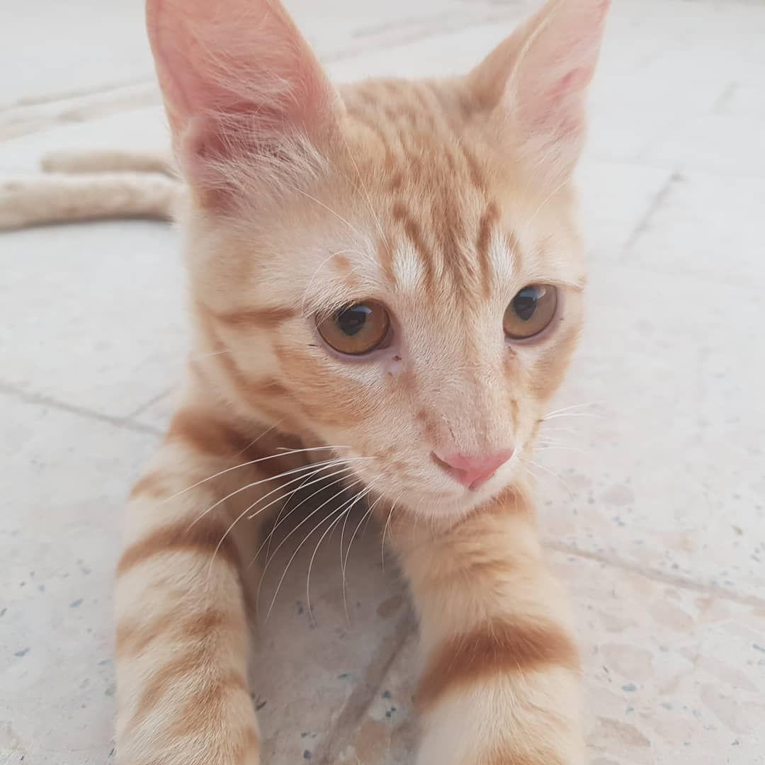 ايهم اجمل العيون العسلية او الخضراء الفرو الاشقراني او الاسمر شقران وباقيرا قصص قطو الحار Cats Animals