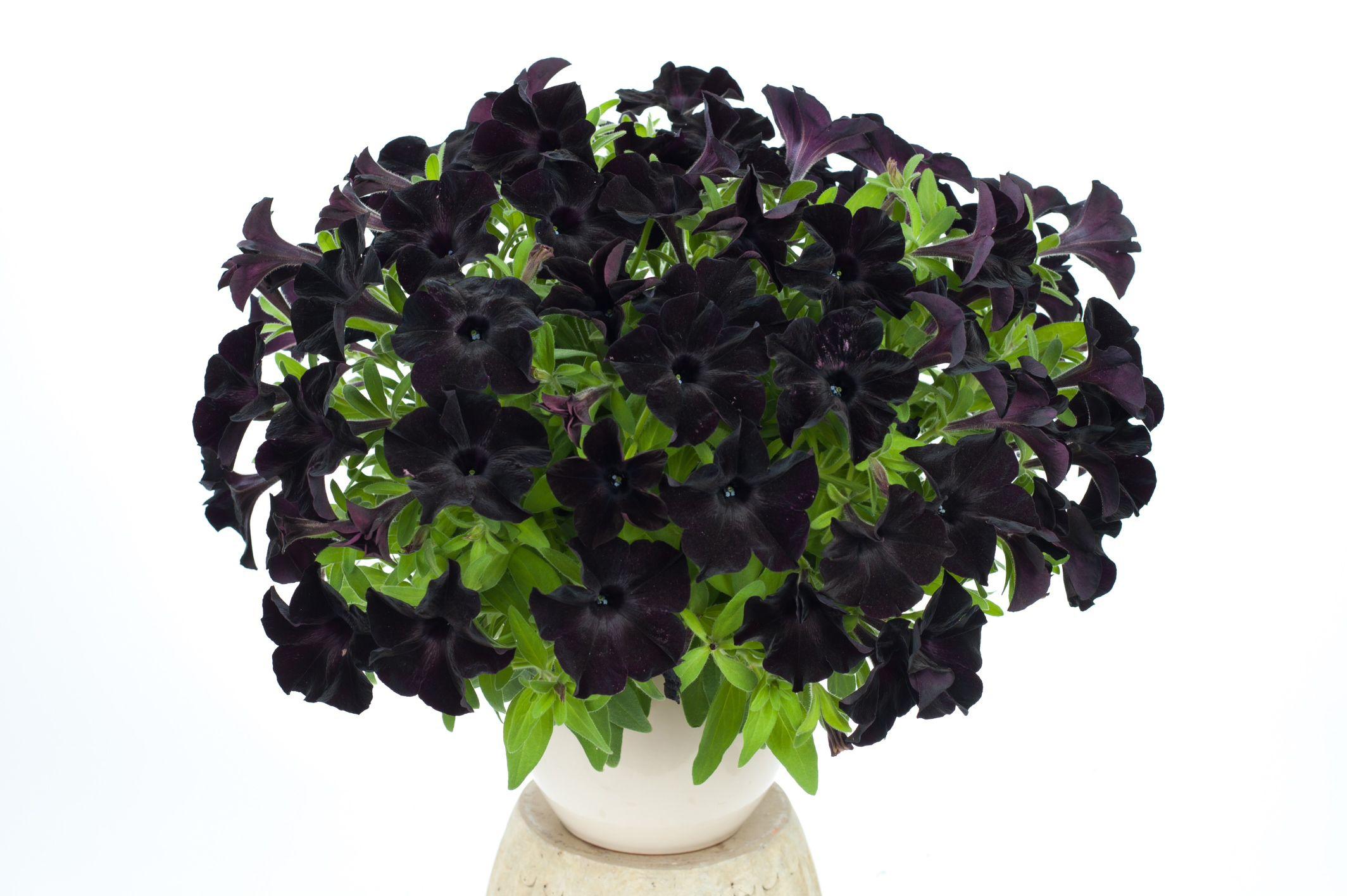 Petunia Black Magic Ball Horticultural Co Petunia Flower Black Petunias Plants