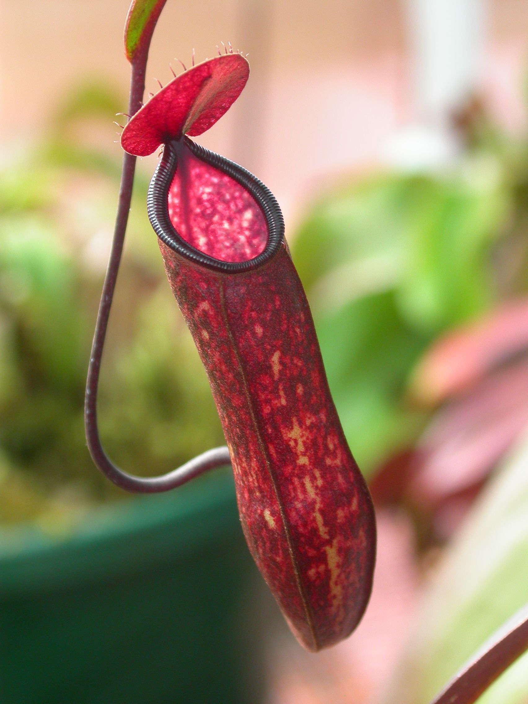 pitcher plant wikipedia the free encyclopedia ideas