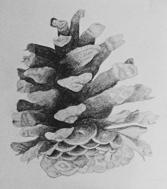Drawing ponderosa pine cone by floyd muad 39 dib via flickr for Ponderosa pine tattoo