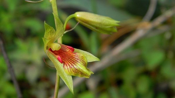 Orchid: Bletia roezlii - Flickr - Photo Sharing!