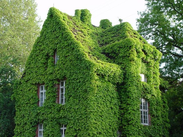 Ivy is pretty. Kudzu is scary. I think that this is ivy. I hope that it is ivy.