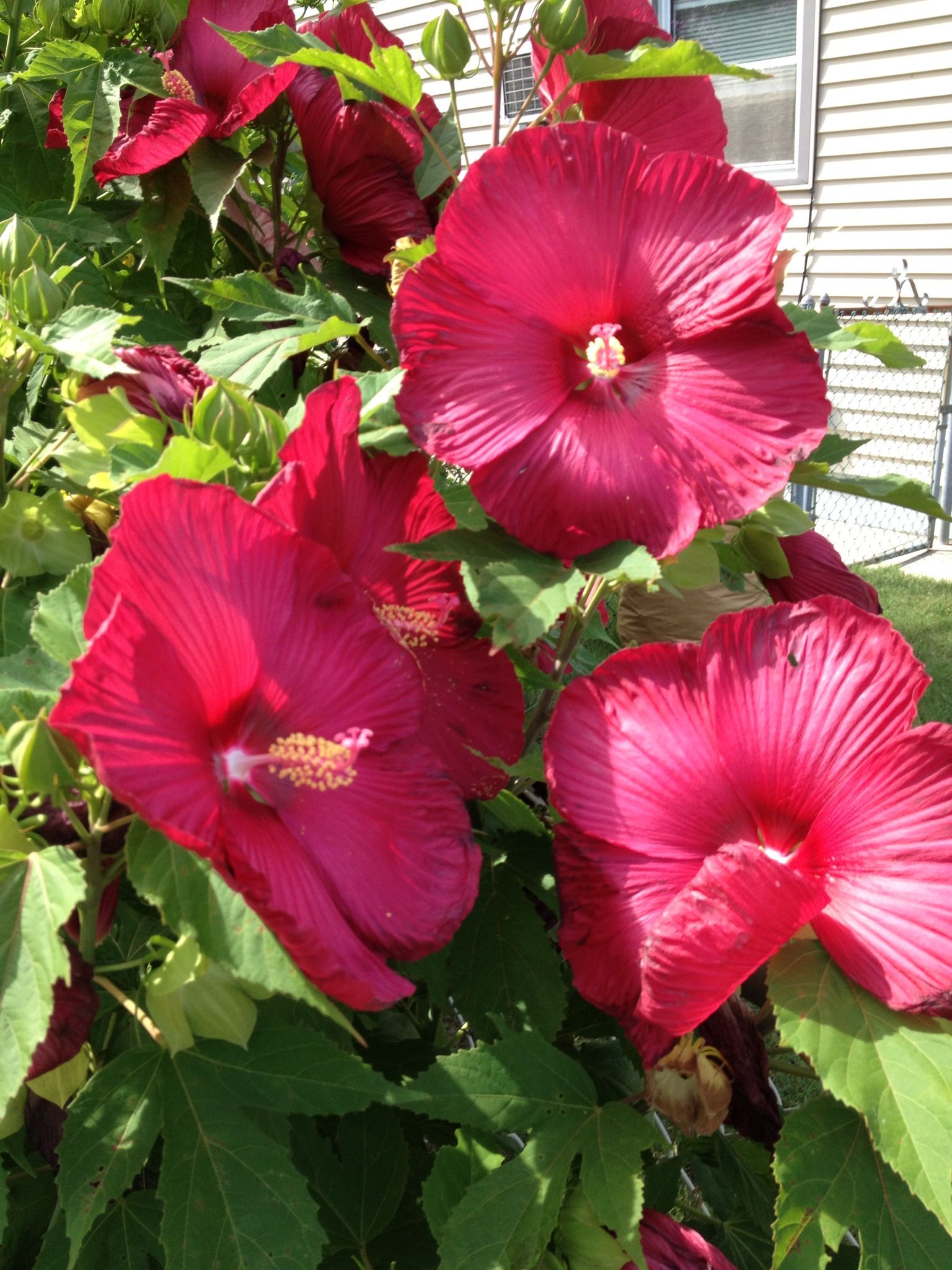 Giant hibiscus flowers pinterest hibiscus flowers and gardens giant hibiscus izmirmasajfo