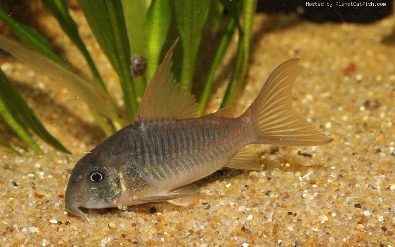Planetcatfish Com Corydoras Concolor Tropical Fish Fish Pet Home Aquarium