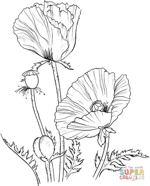 Marvelous Poppy Coloring Pages 34 Oriental poppy coloring page