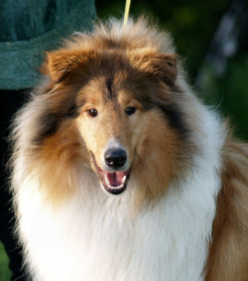 Rough Collie so beautiful, MOTH WICANI The home of